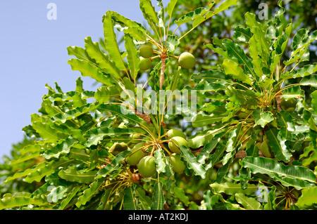 Fruits of Shea butter tree Karite tree Vitellaria paradoxa syn Butyrospermum parkii B paradoxa Burkina Faso - Stock Photo