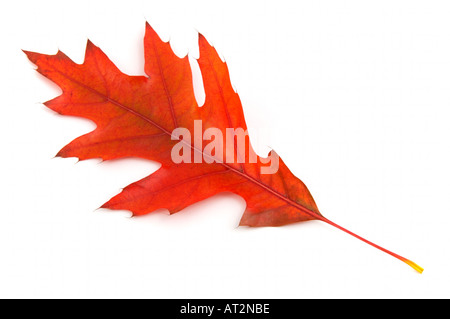 Single Red leaf of Pin oak in autumn on white background - Stock Photo