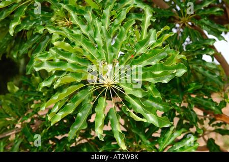 Leaves of Karite tree Vitellaria paradoxa syn Butyrospermum parkii B paradoxa Burkina Faso - Stock Photo