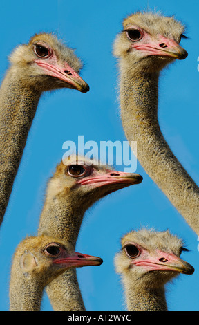 OSTRICHES ON BLUE SKY - Stock Photo