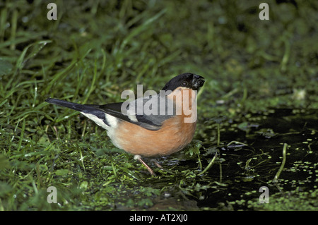 Bullfinch Pyrrhula pyrrhula Male at waters edge drinking water in beak - Stock Photo