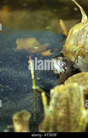 'SELF SATISFIED' LOOKING COMMON FROG  Rana temporaria among frog spawn. - Stock Photo