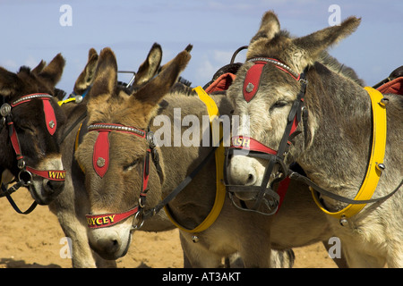 Donkeys on the beach at Skegness, Lincolnshire, England, U.K. - Stock Photo