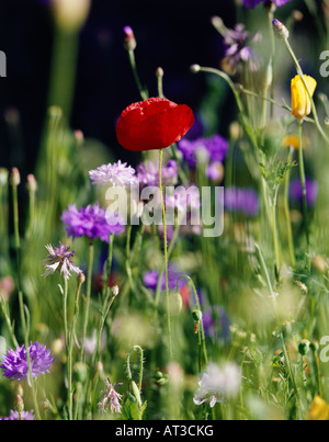 A red poppy amongst summer flowers - Stock Photo