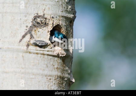 Tree Swallow Tachycineta bicolor adult male in nesting cavity in aspen tree Rocky Mountain National Park Colorado - Stock Photo