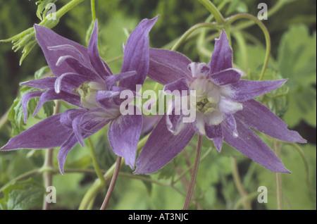 Clematis macropetala (Old man's beard. Traveller's joy. Virgin's bower) Early flowering deciduous climber. - Stock Photo
