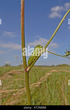 SWALLOWTAIL PAPILIO MACHAON CATERPILLAR ON MILK PARSLEY STALK - Stock Photo