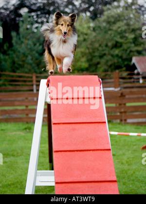 Shetland Sheepdog or Sheltie negotiating the Dog Walk of an Agility Course - Stock Photo