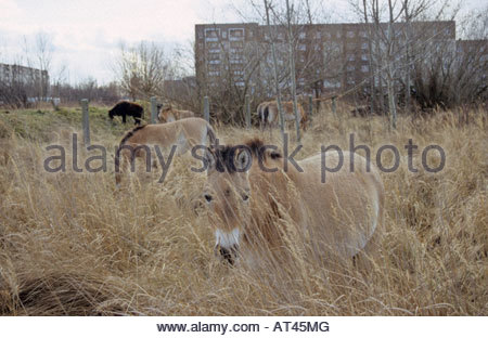 Przewalski horse as part of landscape conservation project in Leipzig Germany - Stock Photo