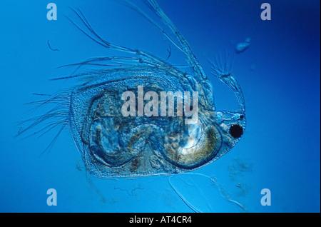 Water Flea Acantholeberis Stock Photo 279820335 Alamy