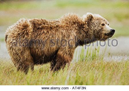 Coastal Brown Bear Ursus arctos Sow in the grass flats along the coast of Cook Inlet Lake Clark National Park Alaska - Stock Photo
