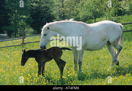 Lipizzaner horse (Equus przewalskii f. caballus), mare (white horse) with foal on meadow - Stock Photo