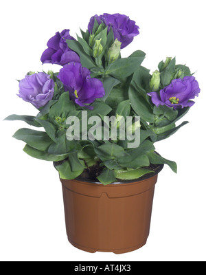 Lisianthus, Tulip Gentian, Texas Bluebell (Eustoma grandiflorum), potted plant - Stock Photo