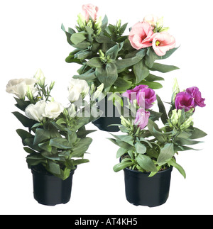 Lisianthus, Tulip Gentian, Texas Bluebell (Eustoma grandiflorum), potted plants, different cultivars - Stock Photo