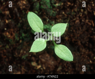Chickweed Stellaria media seedling with two true leaves - Stock Photo