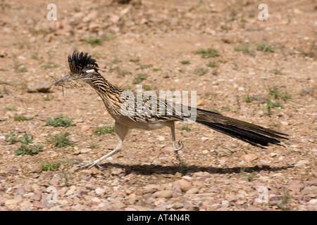 Greater Roadrunner, Geococcyx californianus, with nesting material. - Stock Photo