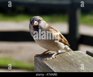 A sparrow perches on a cafe table on Bryher, Scilly Isles, UK. - Stock Photo