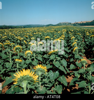A sunflower crop with the flowers turned away from the camera Tuscany Italy - Stock Photo