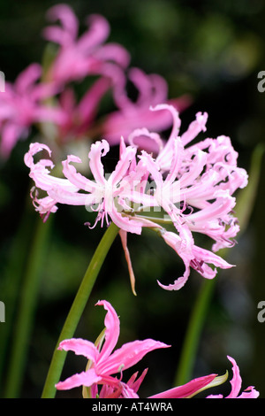 Nerine bowdenii Wellsii blooms in autumn with softer pink flowers than the species shown in forground and background - Stock Photo