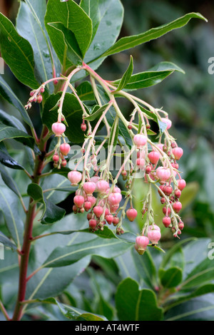 Tree leaves tinted stock photo 282043973 alamy arbutus marina has evergreen glossy leaves and pink tinted bell shaped flowers in autumn stock mightylinksfo