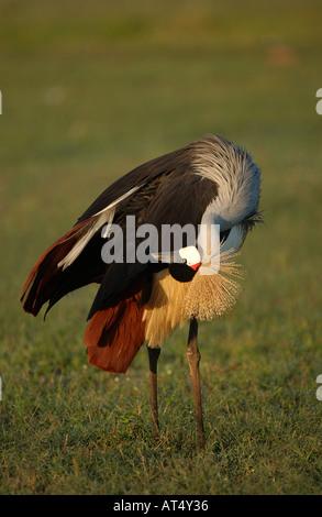 Grey Crowned Crane Balearica regulorum preening Masaii Mara Kenya - Stock Photo