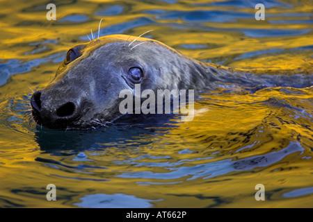 grey seal in Lerwick harbour - Stock Photo