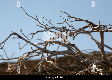 dried up dead wooden branch against blue sky in desert tenerife canary islands spain - Stock Photo