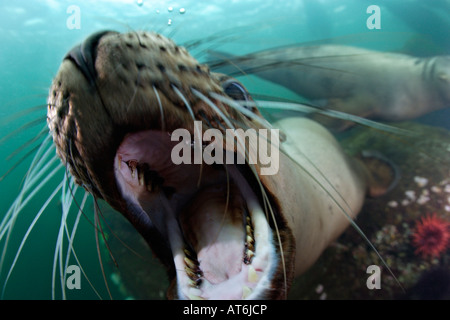 nx0181-D. Steller Sea Lion, Eumetopias jubatus. Playful sea lion opens mouth in front of camera. Photo Copyright - Stock Photo
