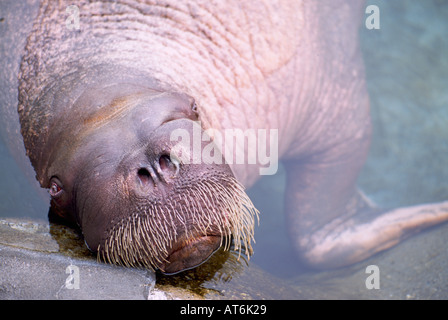 Young Pacific Walrus Bull with Latin Name of Odobenus rosmarus divergens - Stock Photo