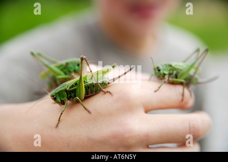 Boy holding long-horned grasshopper, close-up of hand - Stock Photo