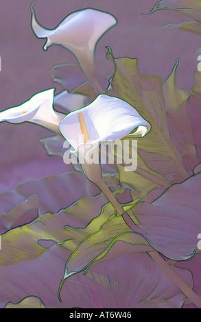 Graphic representation of white calla lilies in evening sun - Stock Photo