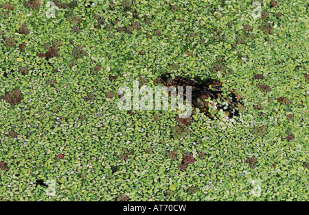 American Alligator Alligator mississipiensis young in duckweed camouflaged Welder Wildlife Refuge Sinton Texas USA - Stock Photo