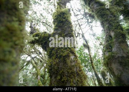 Virgin laurel forest in the National Park Garajonay near Hermigua La Gomera - Stock Photo