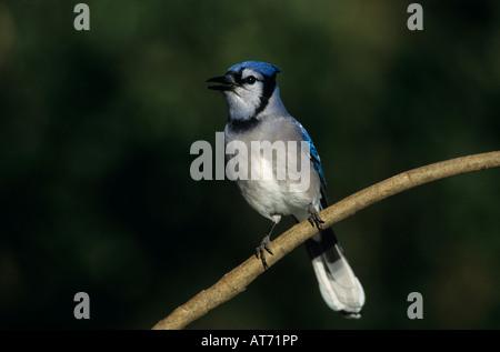 Blue Jay Cyanocitta cristata adult San Antonio Texas USA Oktober 2003 - Stock Photo