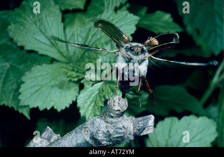 Common Cockchafer Melolontha melolontha male taking off Seewen Switzerland May 1994 - Stock Photo