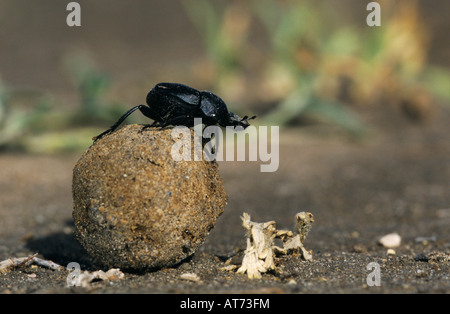 Dung Beetle Scarabaeinae adult on dung ball Starr County Rio Grande Valley Texas USA May 2002 - Stock Photo