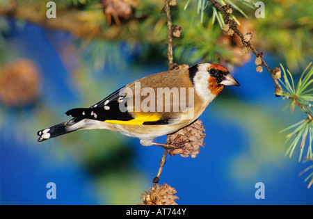 European Goldfinch Carduelis carduelis adult eating on cones of European Larch Larix decidua Unteraegeri Switzerland - Stock Photo
