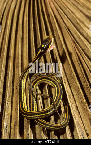 Gulf Coast Ribbon Snake Thamnophis proximus orarius  newborn young Willacy County Rio Grande Valley Texas USA - Stock Photo