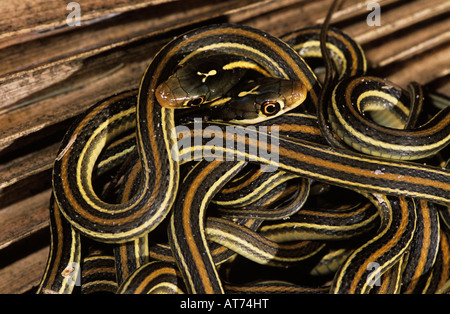 Gulf Coast Ribbon Snake Thamnophis proximus orarius clutch of newborn young Willacy County Rio Grande Valley Texas - Stock Photo