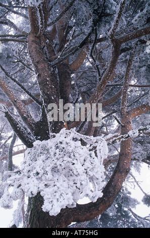 Mugo Pine Pinus mugo tree with frost in fog Oberaegeri Switzerland December 1995 - Stock Photo