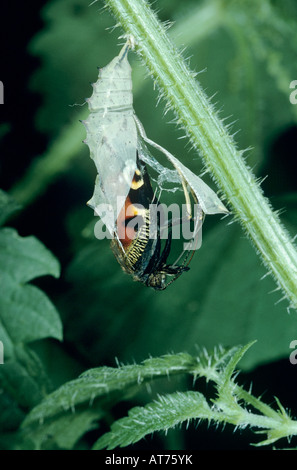 Peacock Butterfly Inachis io adult emerging from pupa on Stinging Nettle Urtica dioica Oberaegeri Switzerland May - Stock Photo