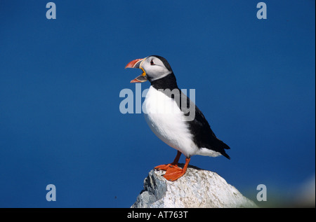 Atlantic Puffin Fratercula arctica adult calling Hornoya Nature Reserve Vardo Norway June 2001 - Stock Photo
