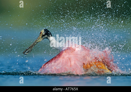 Roseate Spoonbill Ajaia ajaja adult bathing Welder Wildlife Refuge Sinton Texas USA June 2005 - Stock Photo