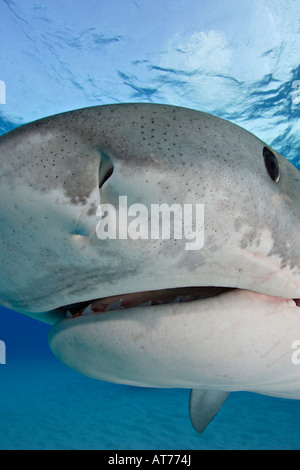 pa0728-D. Tiger Shark, Galeocerdo cuvier. Bahamas, Atlantic Ocean. Photo Copyright Brandon Cole - Stock Photo