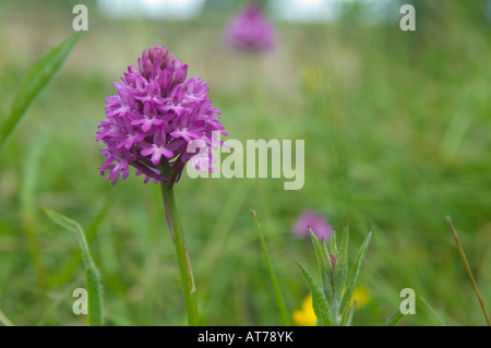 Purple pyramid orchid in meadow grass, UK - Stock Photo
