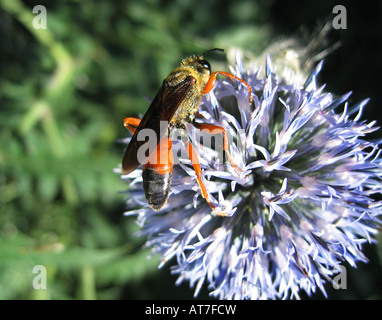 A great golden digger wasp feeds on the pollen of a globe thistle - Stock Photo