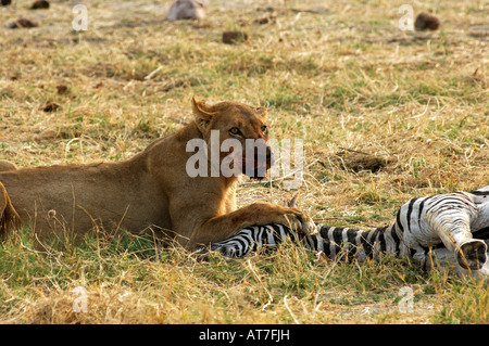Lioness at a Zebra kill Savuti Narional Park Botswana - Stock Photo