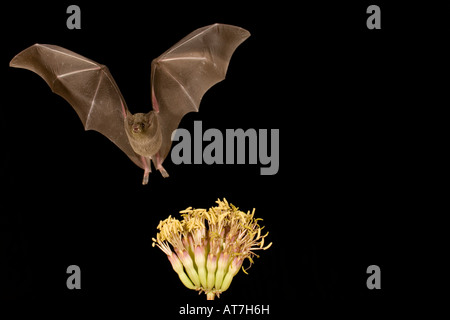 Nectar bat Lesser-Long nosed Bat Leptonycteris curasoae feeding at agave flowers - Stock Photo