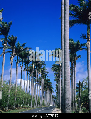 Road lined up with royal palm trees, Allée Dumanoir, Guadeloupe, French West Indies - Stock Photo