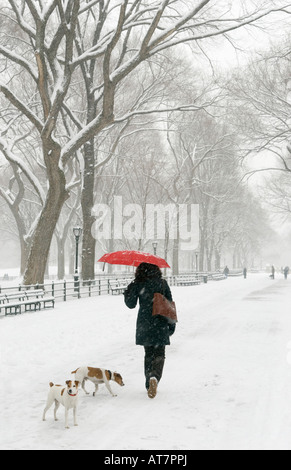 Woman walking her dogs during a snowstorm in Central Park NYC - Stock Photo